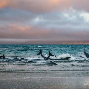 La solidaridad de las ballenas entre sí en medio de circunstanciasextremas
