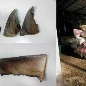 Por 9 millones de dólares incautaron aletas de tiburón enLambayeque