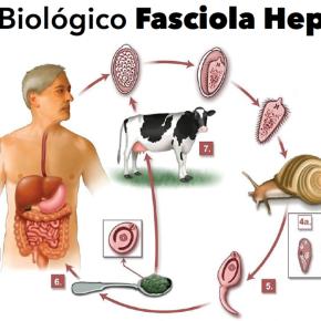 """Parásito """"fasciola hepática"""" produce graves infecciones a más de un millón de personas en Perú, Bolivia yEcuador"""