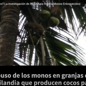 Leche y derivados del coco en Tailandia provienen de monos esclavizados para recolectar cocos: Organización PETA denuncia lasmarcas