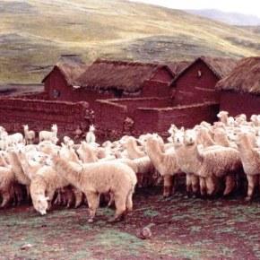 Industria alpaquera de Perú reacciona  a campaña PETA en contra del uso de la fibra: respetuosos del bienestar de las alpacas y trabajan en implementarcertificaciones